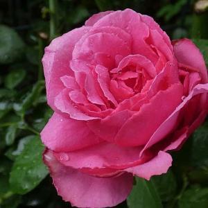 雨の中のバラ、イヴ・ピアジェ、クイーンエリザベス、羽衣、ペネロペなど