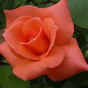 今日咲いてるバラ、アヴェマリア、イヴピアジェ、カマクラ、ナエマ、ボレロ、みさき