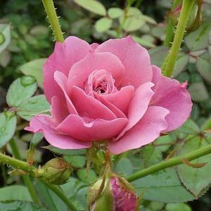 今日咲いてるバラ~あおい、クロードモネ、天使の香、羽衣、みさき、ルージュピエール