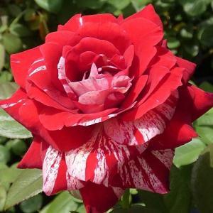 今日咲いてるバラ~かおり、パヴィヨンドゥプレイニー、クリスティアーナ、ユア、マルメゾン、モリナール