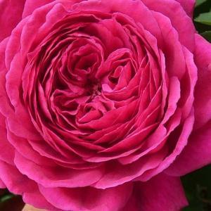 大雨でも残ったバラの花~エルトゥールル、ルージュピエール、みさき、エリアーヌ・ジレなど