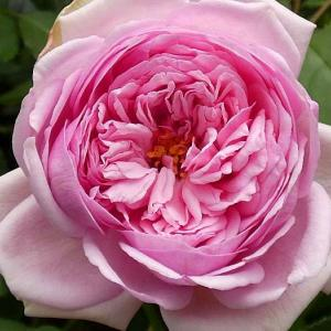 今日咲いているバラ~ローズポンパドゥール、あおい、サントゥールロワイヤル、ルージュロワイヤルなど