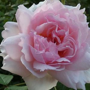 真夏日でも咲くバラ~ザウエッジウッドローズ、かおり、ルイ十四世、シャンテロゼミサトなど