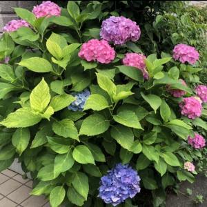 1本の木に2色の花が咲く紫陽花
