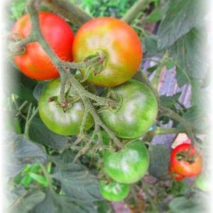 トマトを使いきる…♪