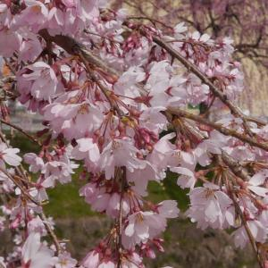 ビオトープに桜吹雪を夢見て