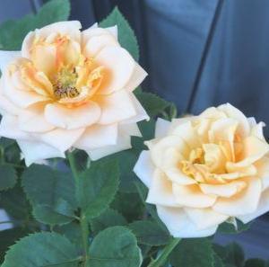 バラの花!