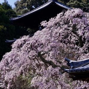當麻寺の枝垂桜