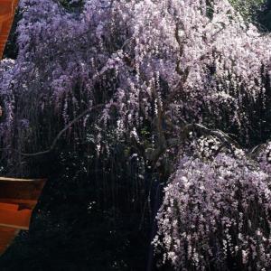 春日大社の桜