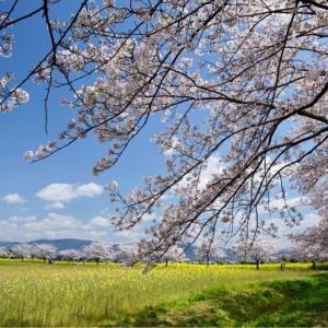 藤原京の桜