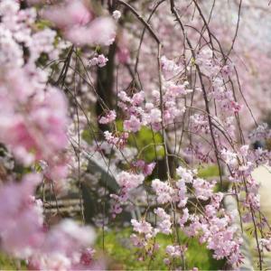 賀茂川の桜
