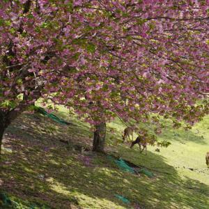 興福寺と八重桜