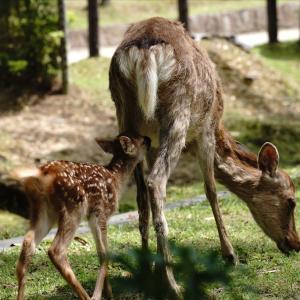 奈良公園の鹿の赤ちゃん