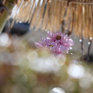 當麻寺の冬牡丹