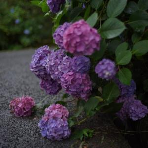 Voigtlander NOKTON Classic40mmF1.4S.Cで撮る長弓寺の紫陽花