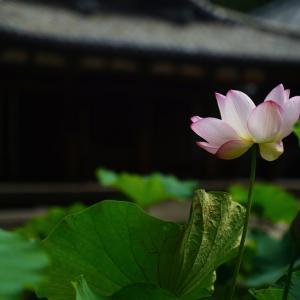 tokyo grapher OPF650-L (レンズフィルター#650) で撮る唐招提寺の蓮