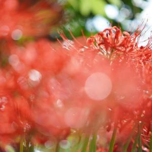 SONY FE70-200 F4 G OSS(SEL70200G)で撮る般若寺の彼岸花