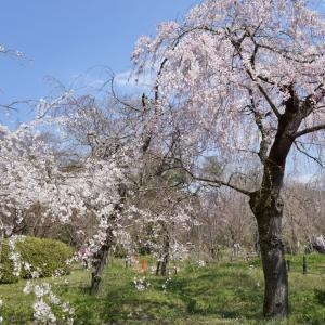 京都府立植物園の桜