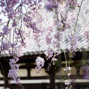 元興寺の桜