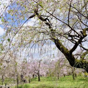 京都府立植物園のしだれ桜