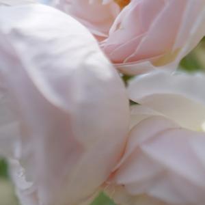 京都府立植物園の薔薇