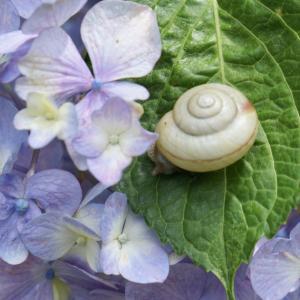 般若寺の紫陽花