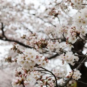 京都高野川の見頃の桜