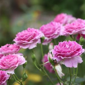 シェエラザードの2番花