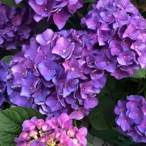 今日の紫陽花 & 2020.6.18    今日はこんな日と占ってみた
