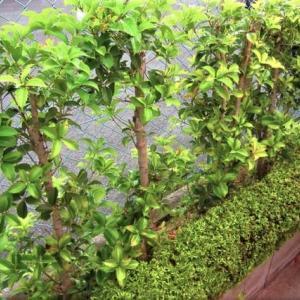 コロナ禍での庭木の剪定