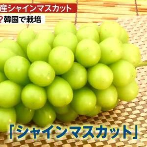 【キチw】韓国「シャインマスカット栽培技術の起源は韓国、日本は諦めて品種登録しなかったw」