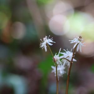 早春の花*セリバオウレン*