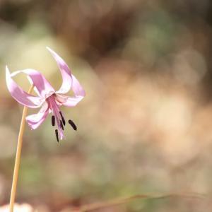 春の妖精*カタクリの花*