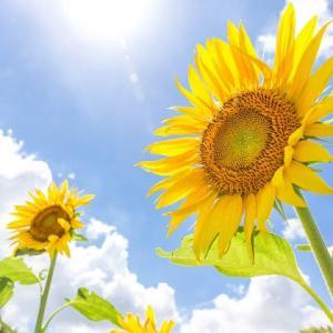 大暑 向日葵のように力強く生きる