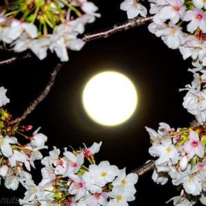 桜とスーパームーンのコラボ