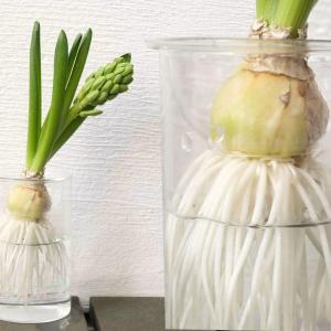 球根の水栽培用にスパイスのバルブベースを使っています!シンプルで穴が大きいのが魅力【レビュー】