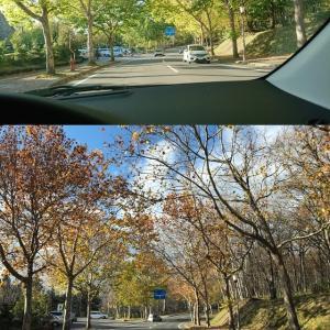旭川のプラタナス通りの晩秋