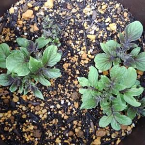 ステイホーム~庭の小さい野菜の芽たちとアロマランプで