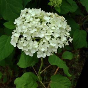 夏用マスクと庭のアナベル(紫陽花)