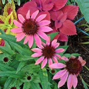 庭の様子~初夏にむかって 消毒用エタノールやっと買えました