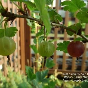 グーズベリー完熟中 ルバーブジャム&塩レモン 庭の野菜