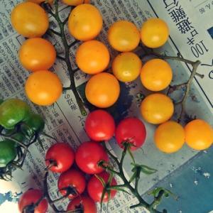 庭でジャガイモとミニトマト収穫