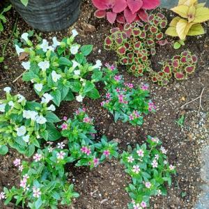整形外科受診と成長中の庭の花と今週は鬼滅の刃無限列車編発売