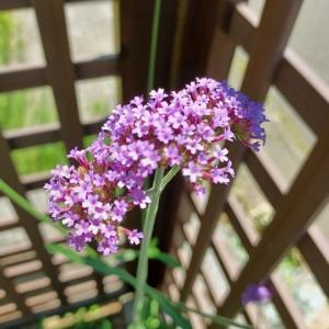酷暑ですが庭の様子~バーベナ・ボナリエンシスの開花