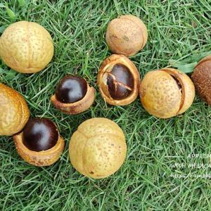 トチノミ(栃の実)拾いと木の実を使ったアレンジ