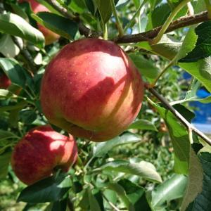 リンゴ狩りに行った