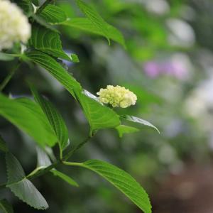 雨の日は紫陽花