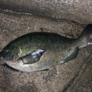 夜メジナ釣りを堪能