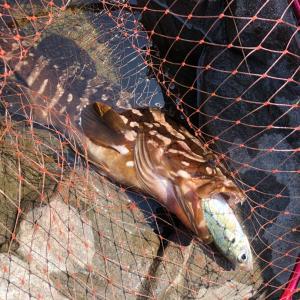 西湘磯、泳がせからの高級魚。昼の部