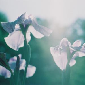新しい生活様式と花菖蒲